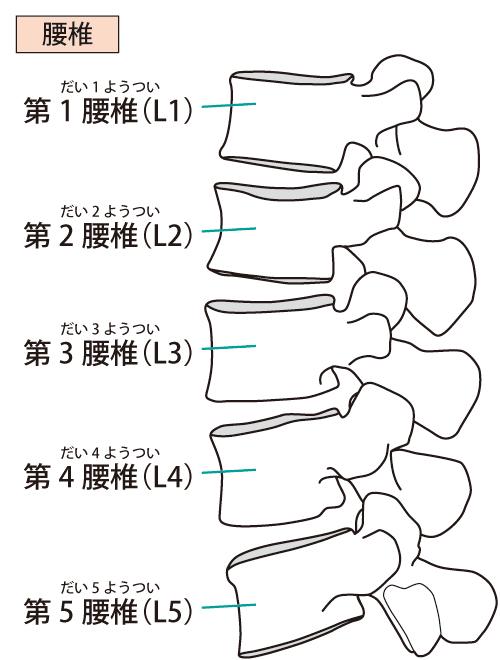 腰椎の説明
